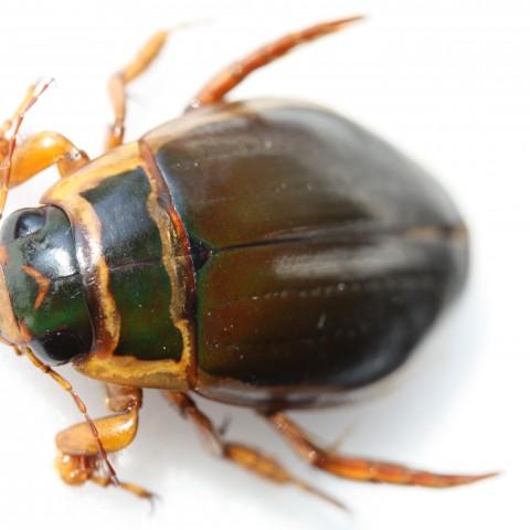 Dysticus pisanus